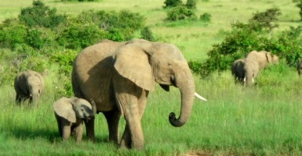 584x200_2D00_elephants-banner