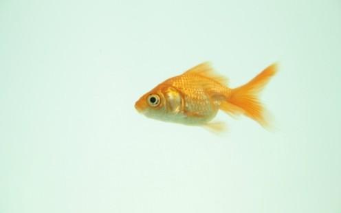 496x335-goldfish