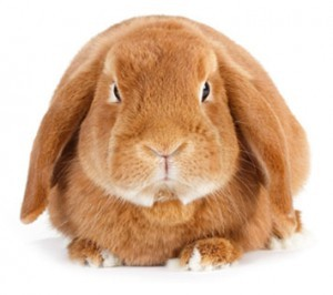 Brown Bunny on White Background