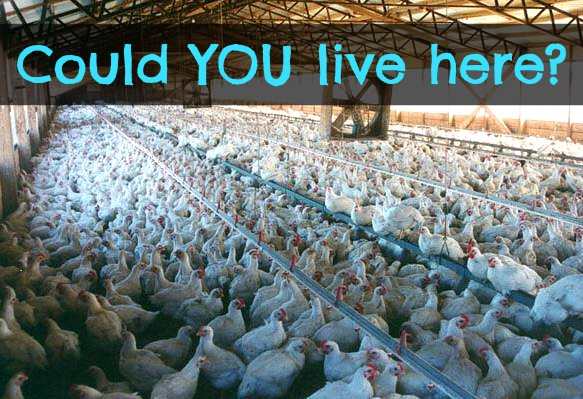 Chickens in Factory Farm