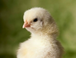 Baby chicken  in front  of green background