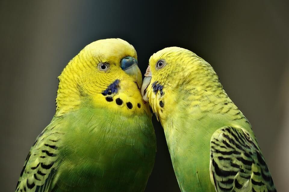 birds kept as 'pets'