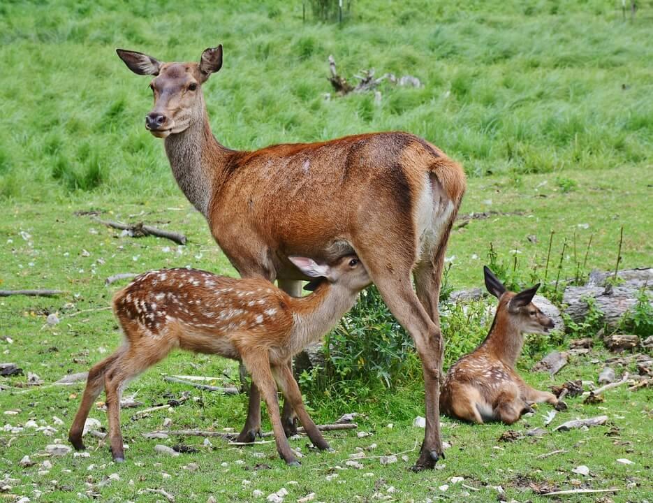 deer shot by hunters