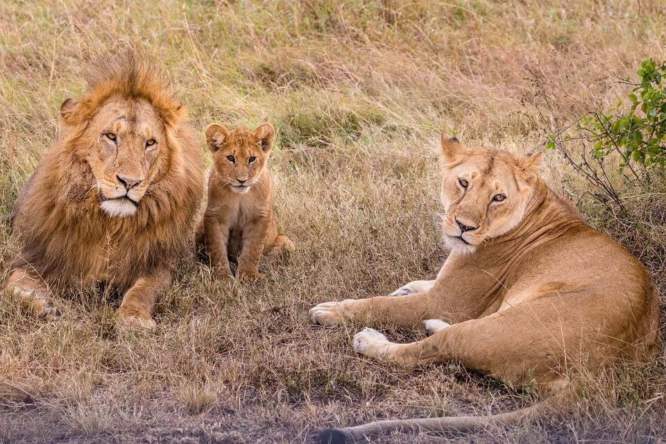 lions used for entertainment