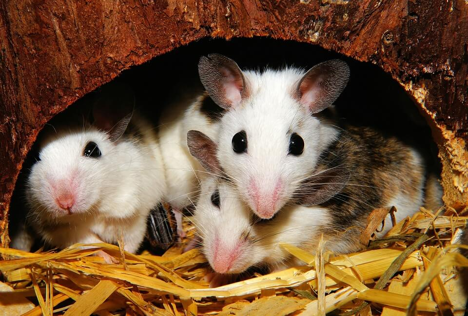 mice and rats used in experiments