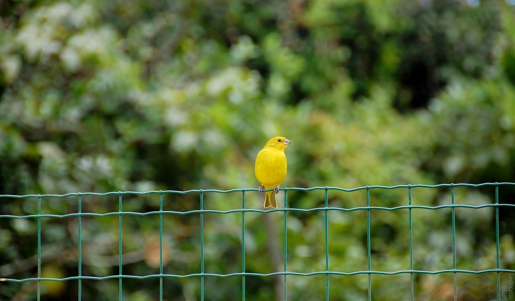 Yellow Bird Resting on Fence