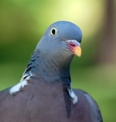 Cool Facts About Pigeons