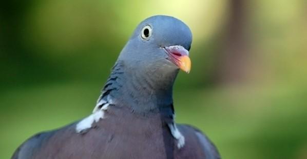 Bird  Pigeons Close Up