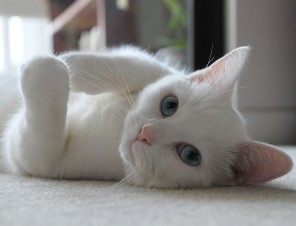 White Cat on Back Looking at Camera