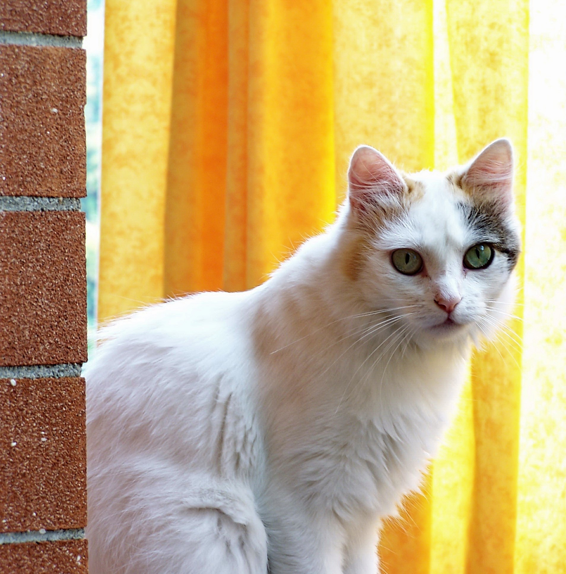 White Cat Against Yellow Background