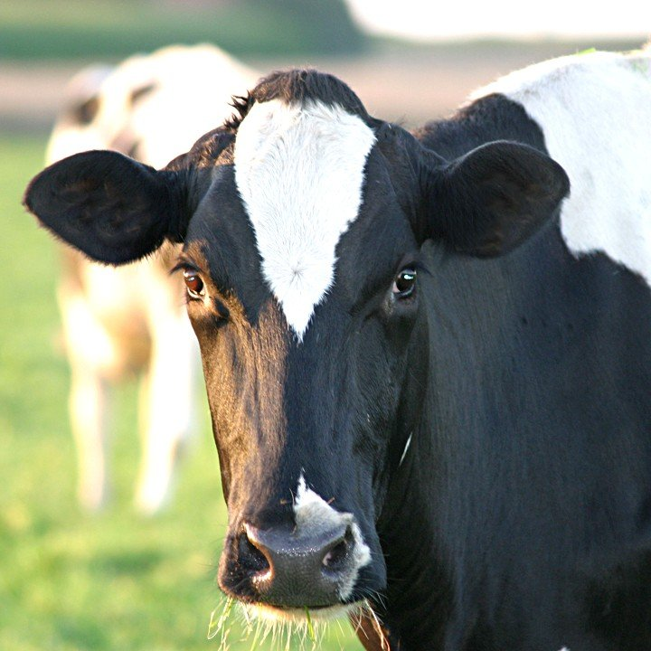 cows animals used for clothing animal facts peta kids