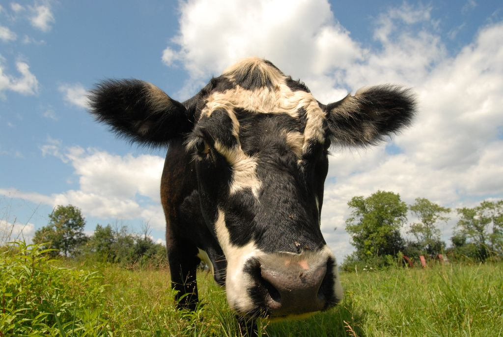 Black and White Cow Outside in Field