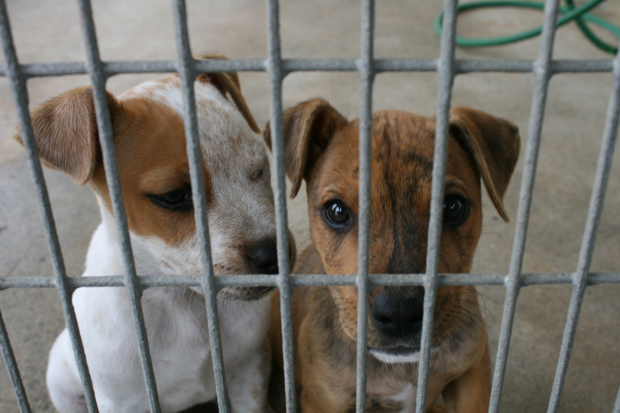 Two Dogs in Cage