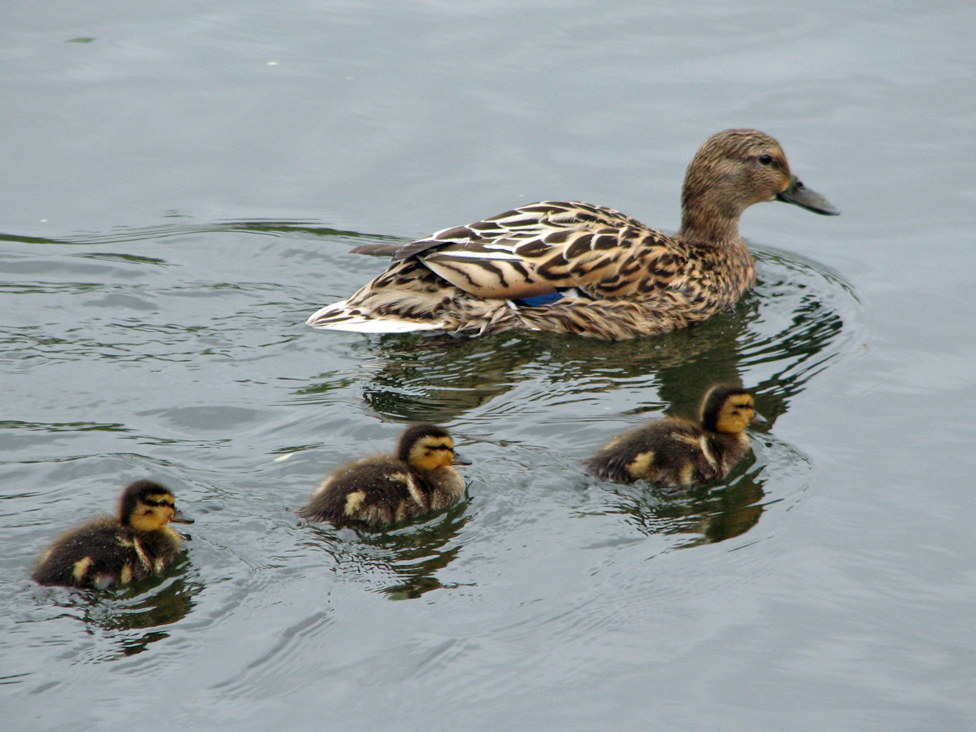 Adult Duck and Baby Ducks in Water