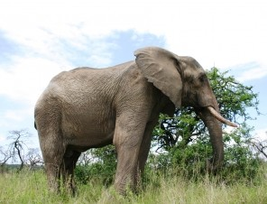 Adult Elephant Outside in Natural Habitat