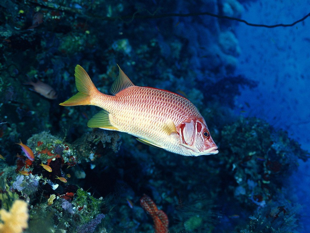 Red Fish Under Water