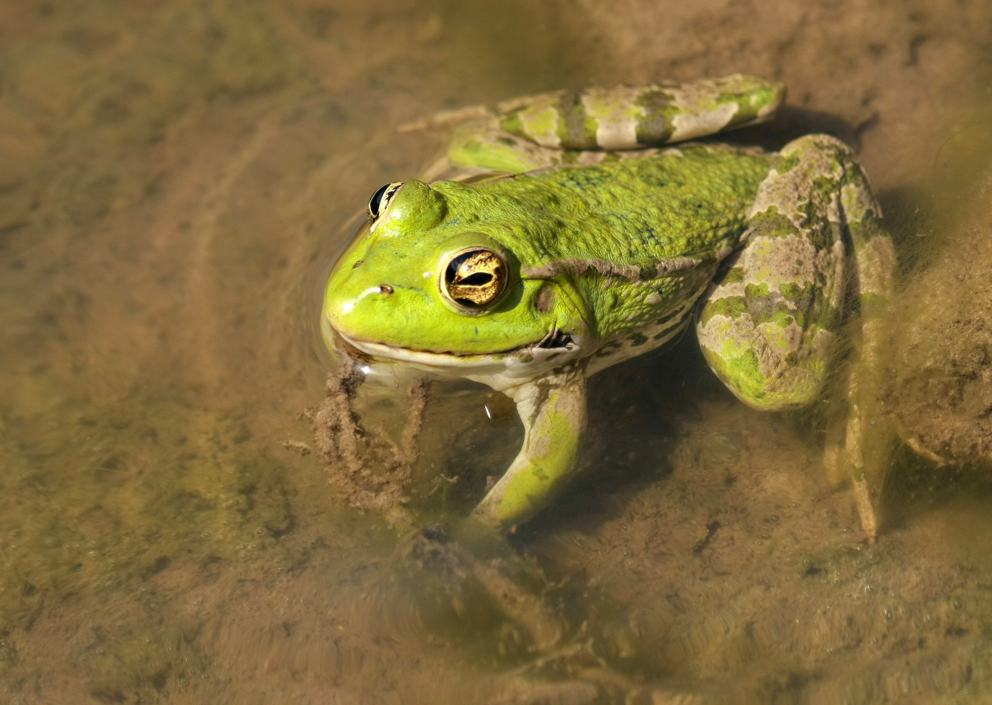 Green Frog on Mud
