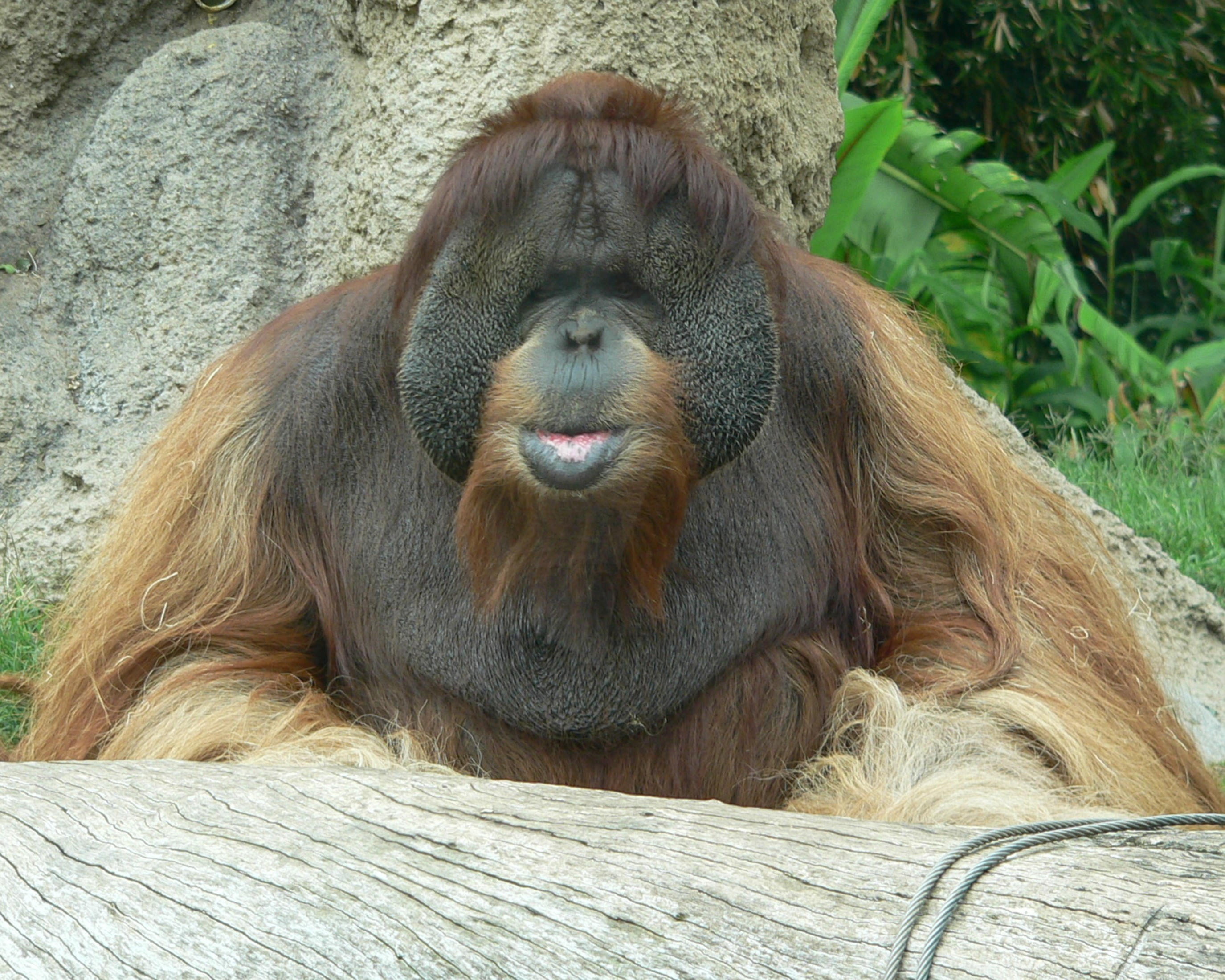 great apes used for entertainment