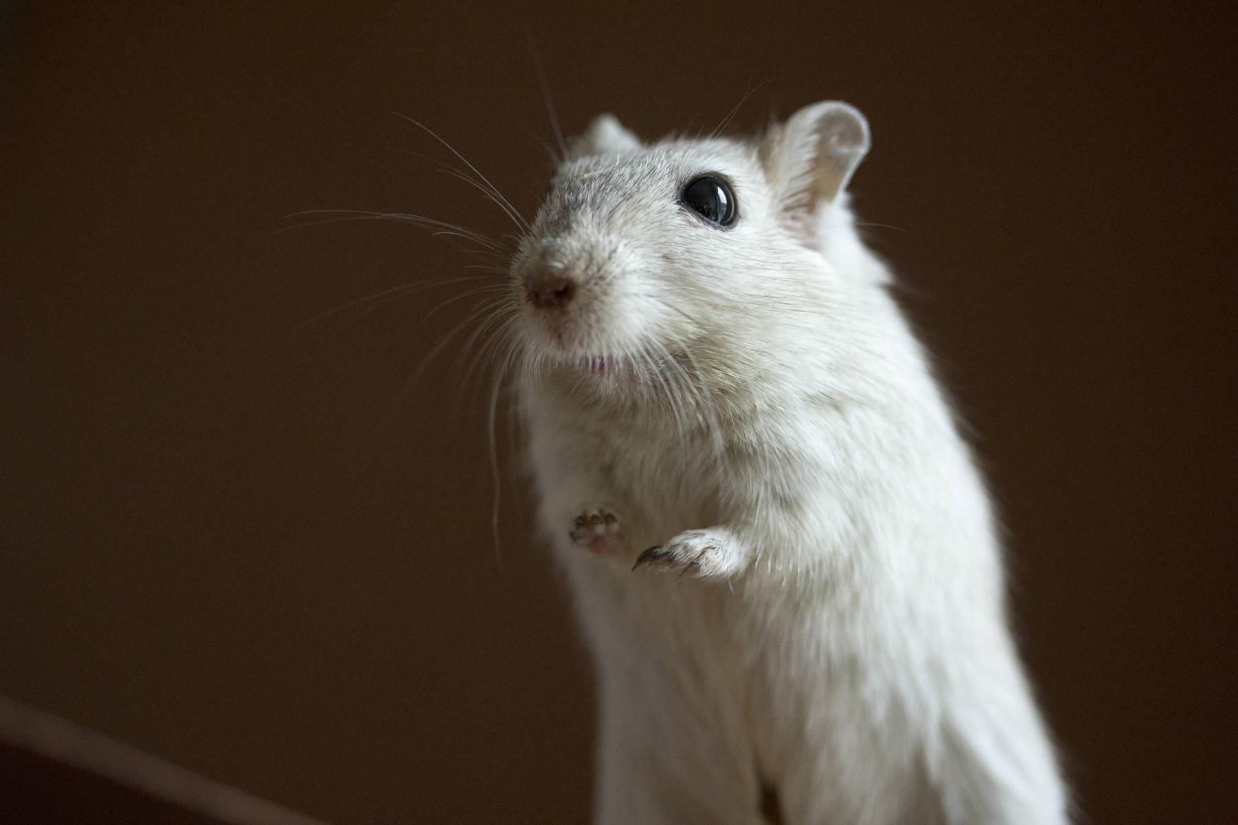 all-about-hamsters-gerbils-3