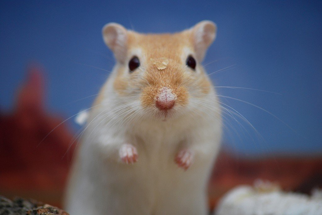 Hamsters and Gerbils | Companion Animals | Animal Facts