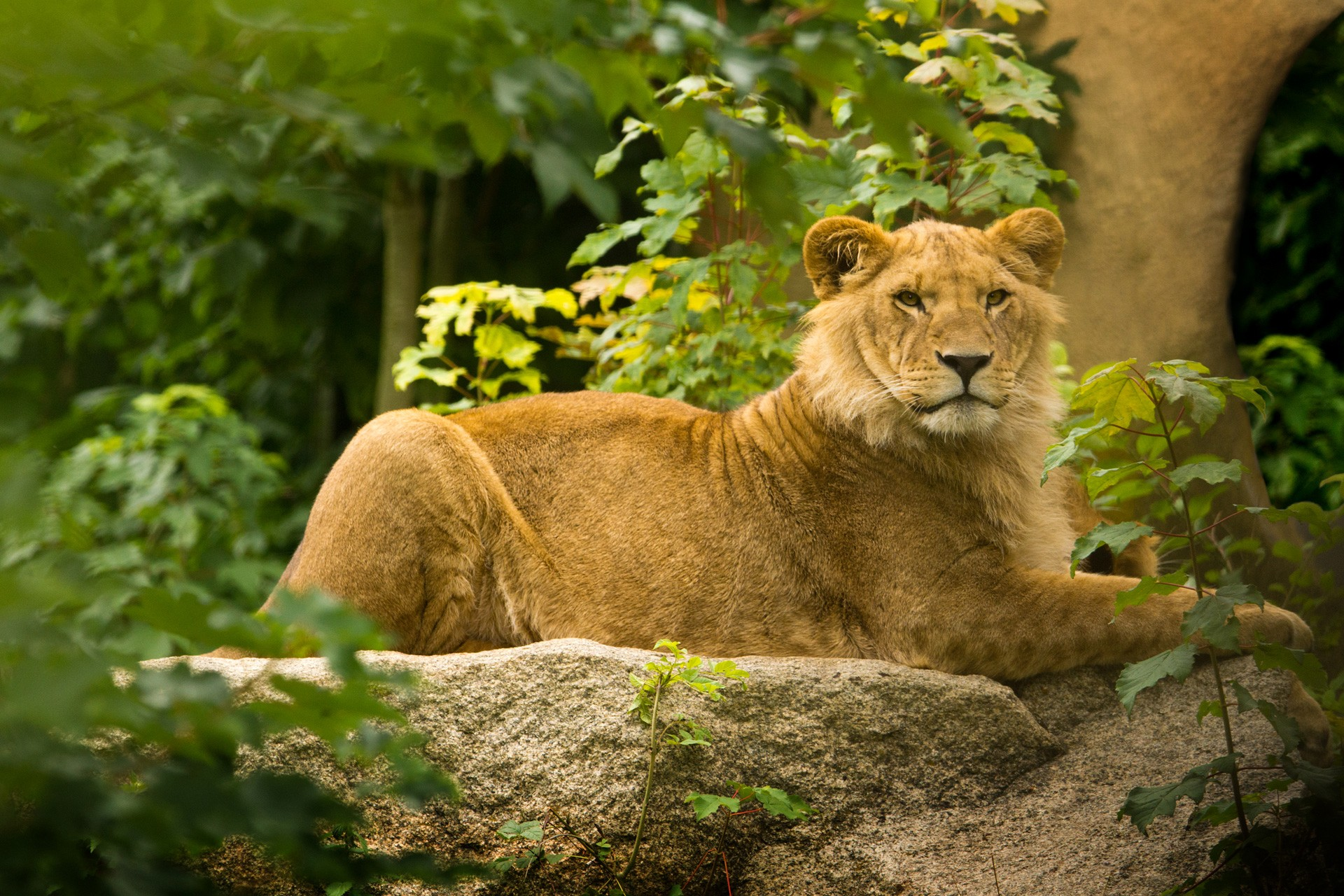 Young Male Lion Outside