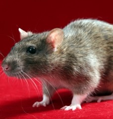 Cool Facts About Rats