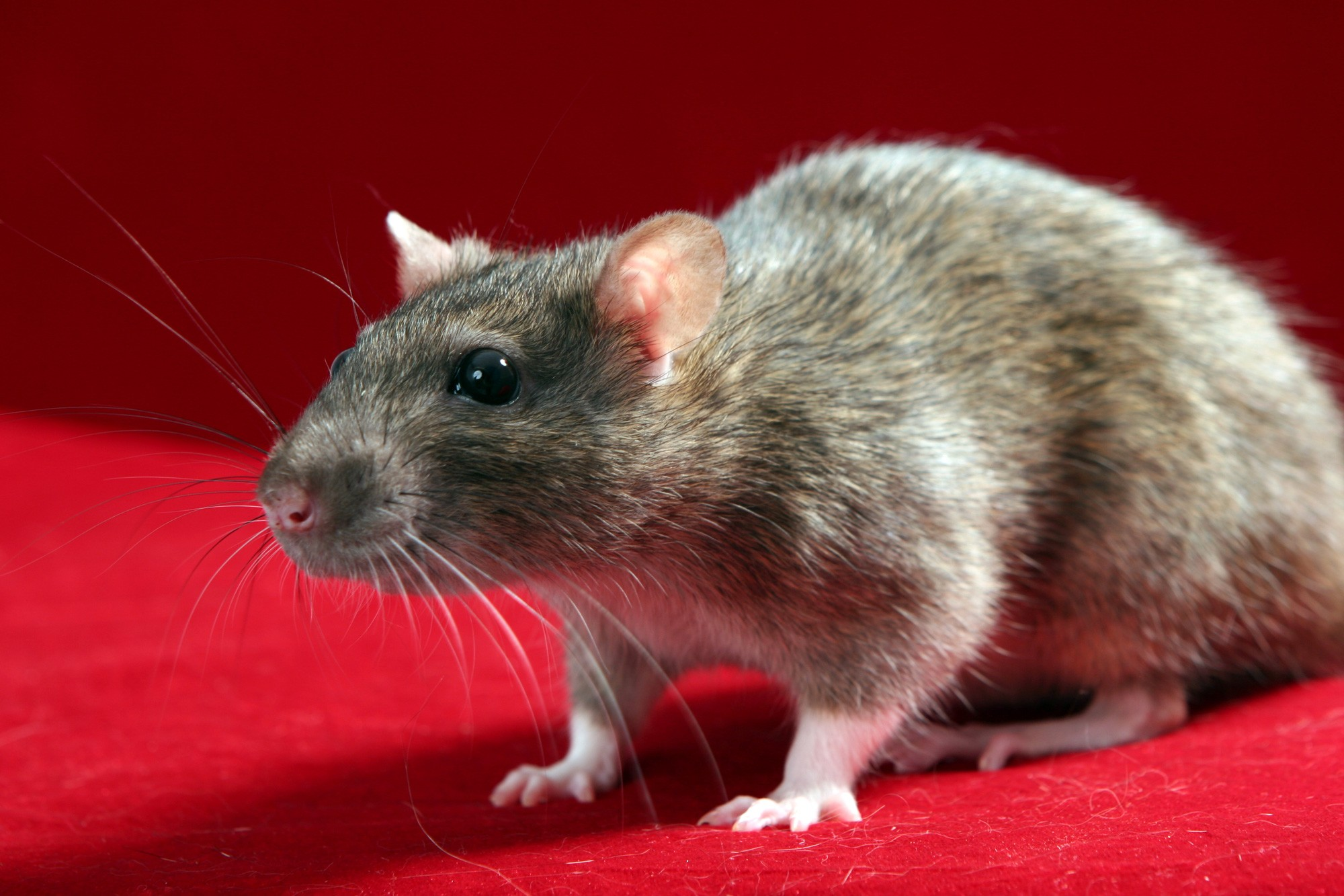 Rat Against Red Background