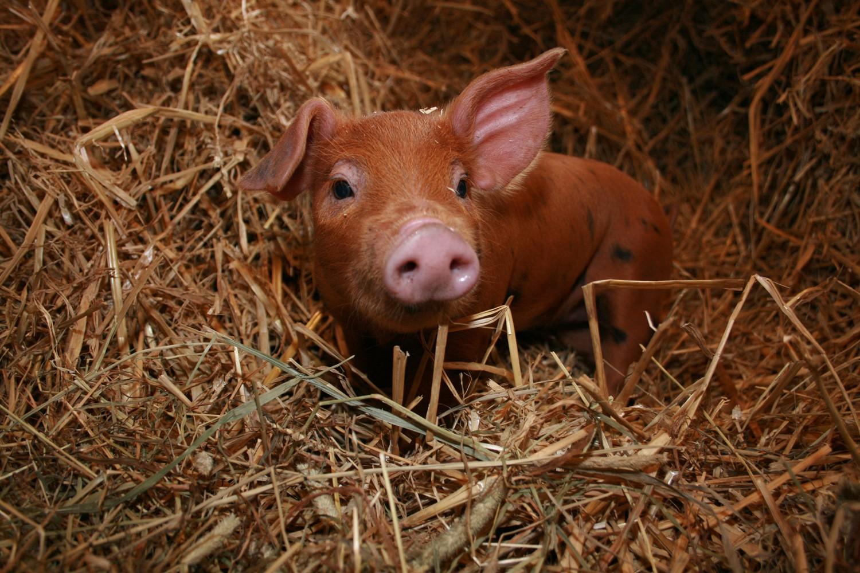 Cute Brown Baby Pig in Hay