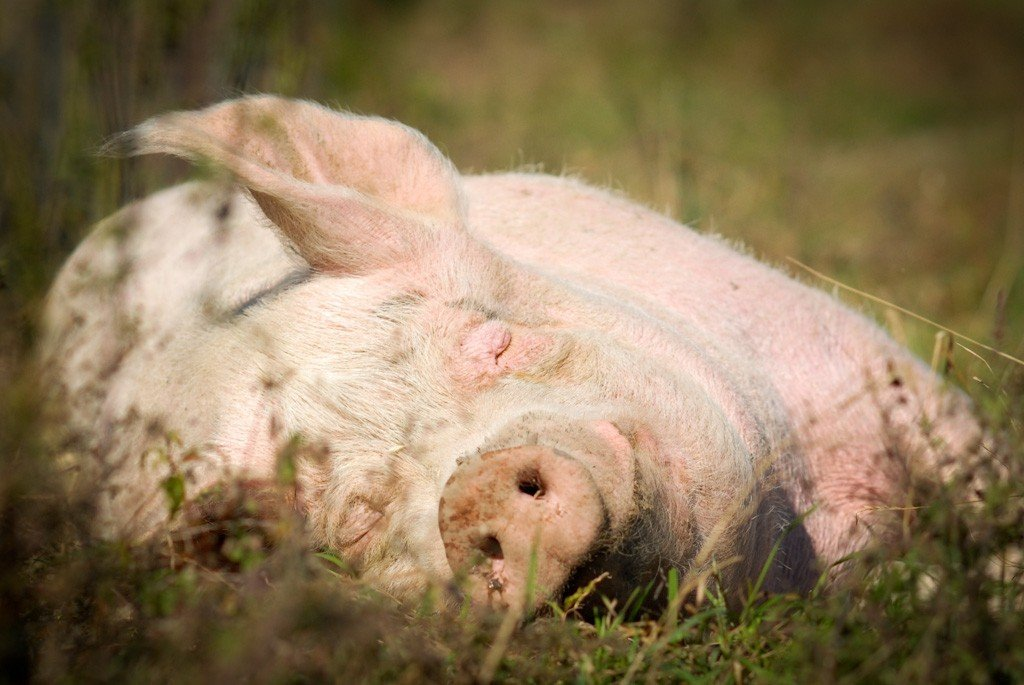 Happy Pink Pig Rolling in Grass