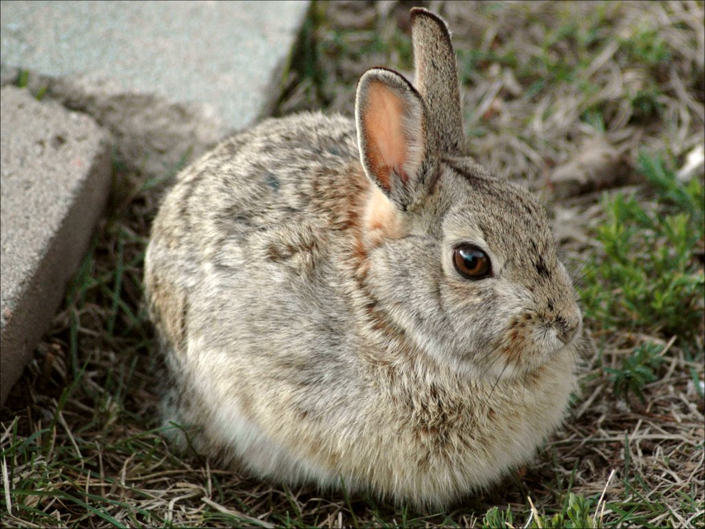 Gray Brown Rabbit