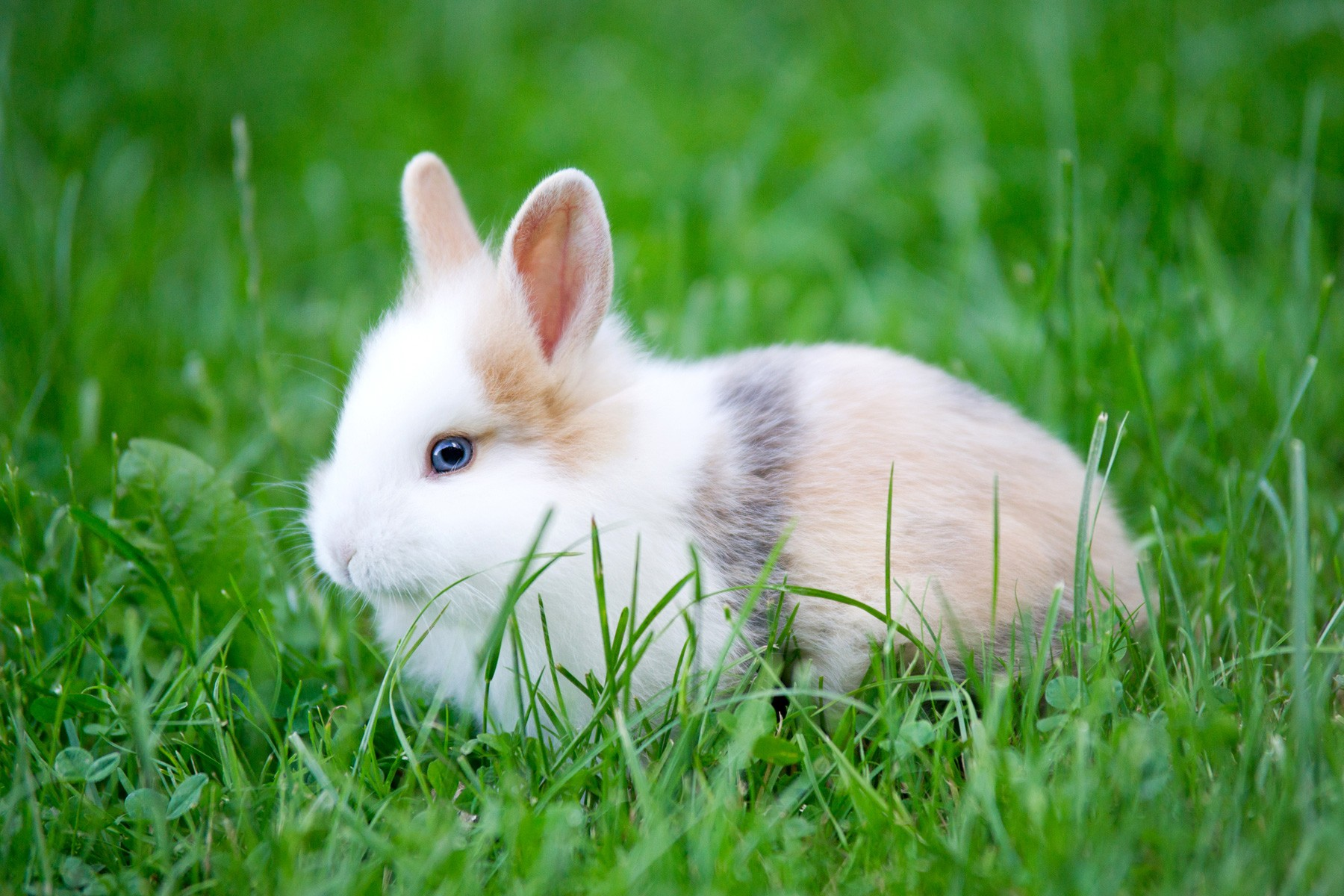 White Baby Rabbit (Bunny) With Blue Eyes