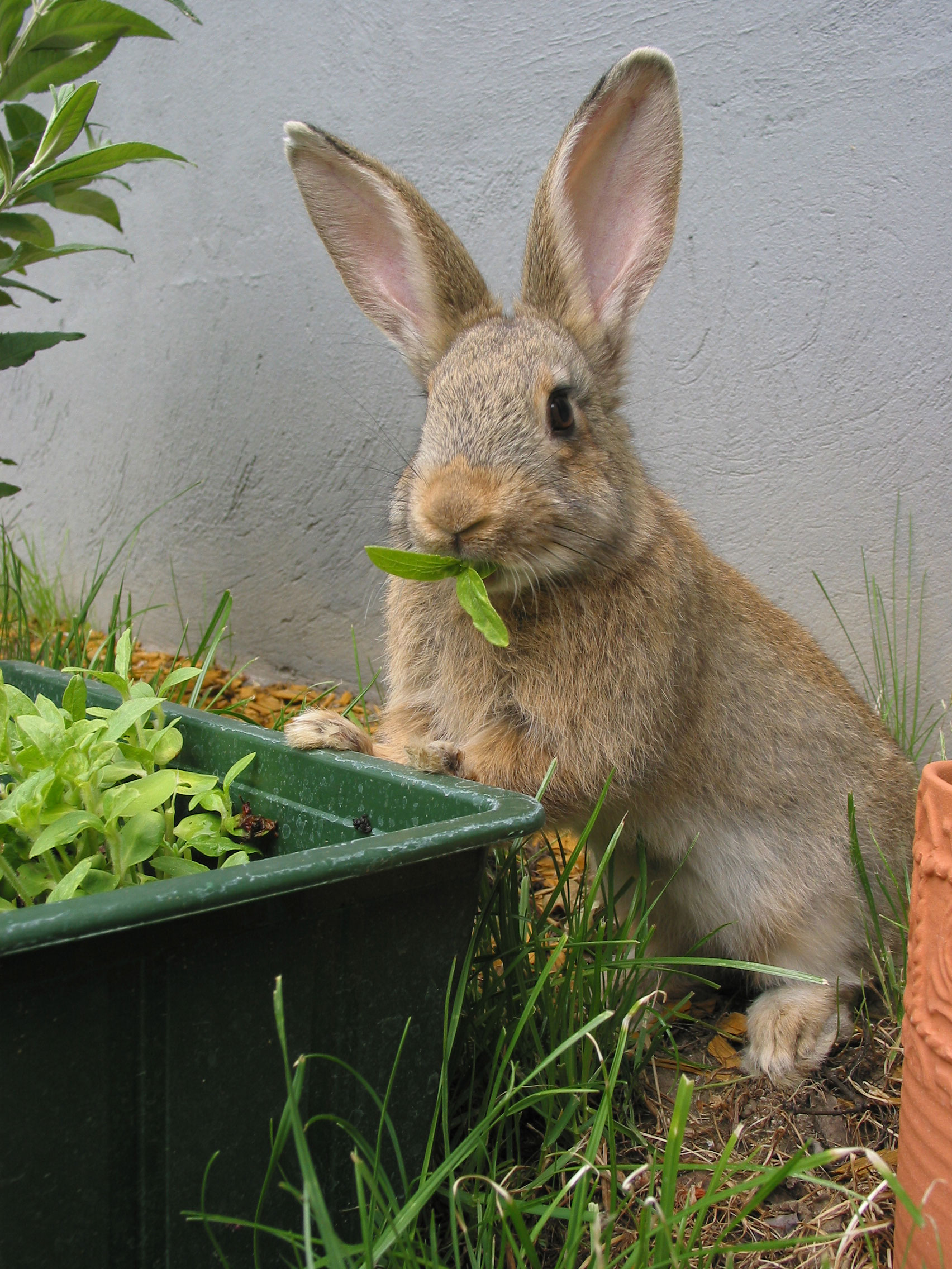 Rabbit Eating in Front of Wall