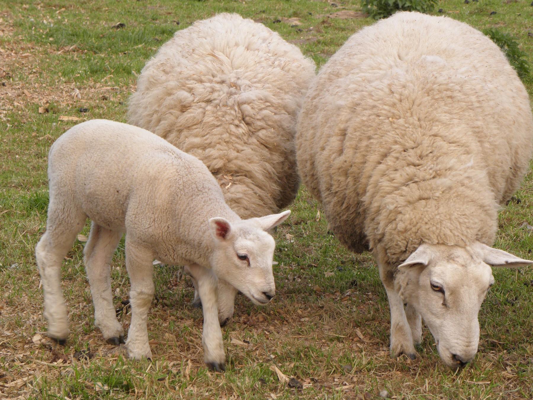 Three Sheep Outside