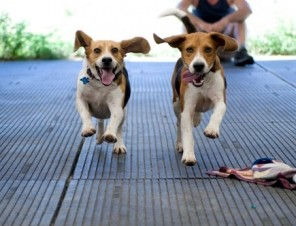 Happy Beagles (Dogs) Running