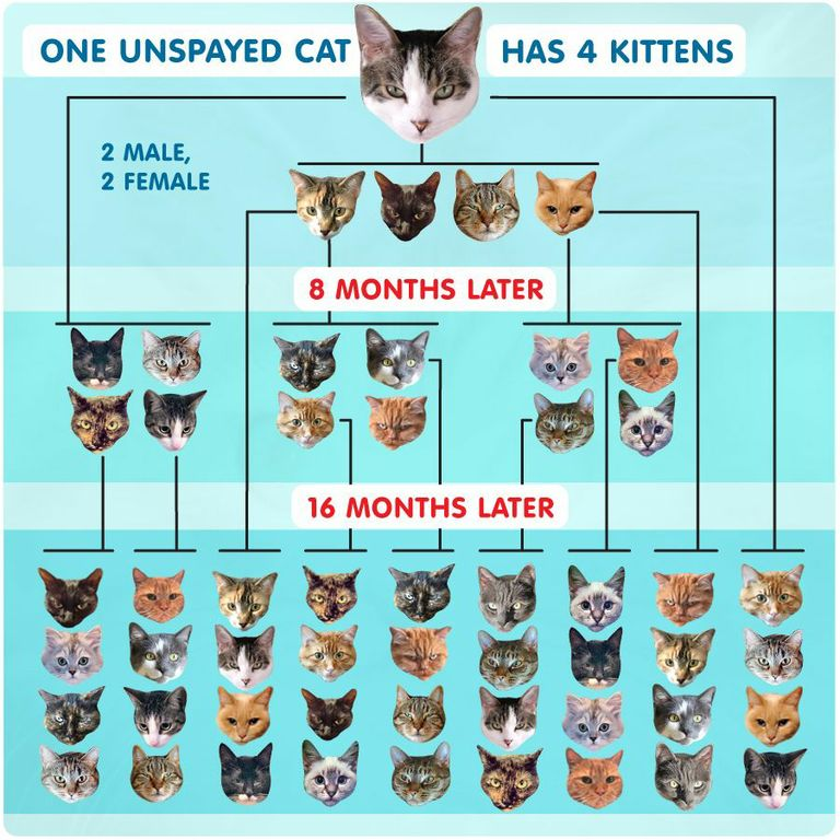 Unspayed Cat Reproduction Chart