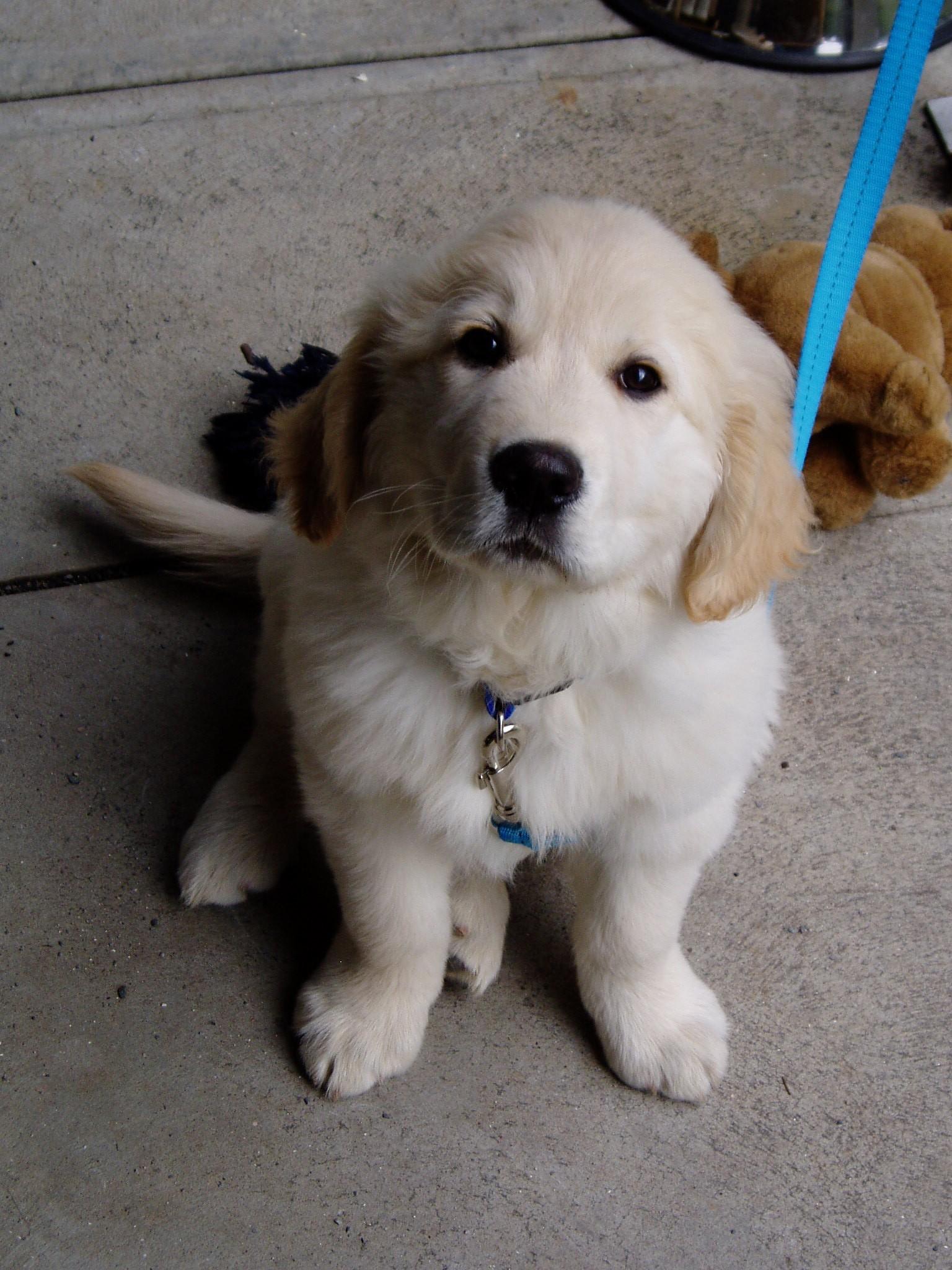 Cute Cream Color Dog Looking at Camera