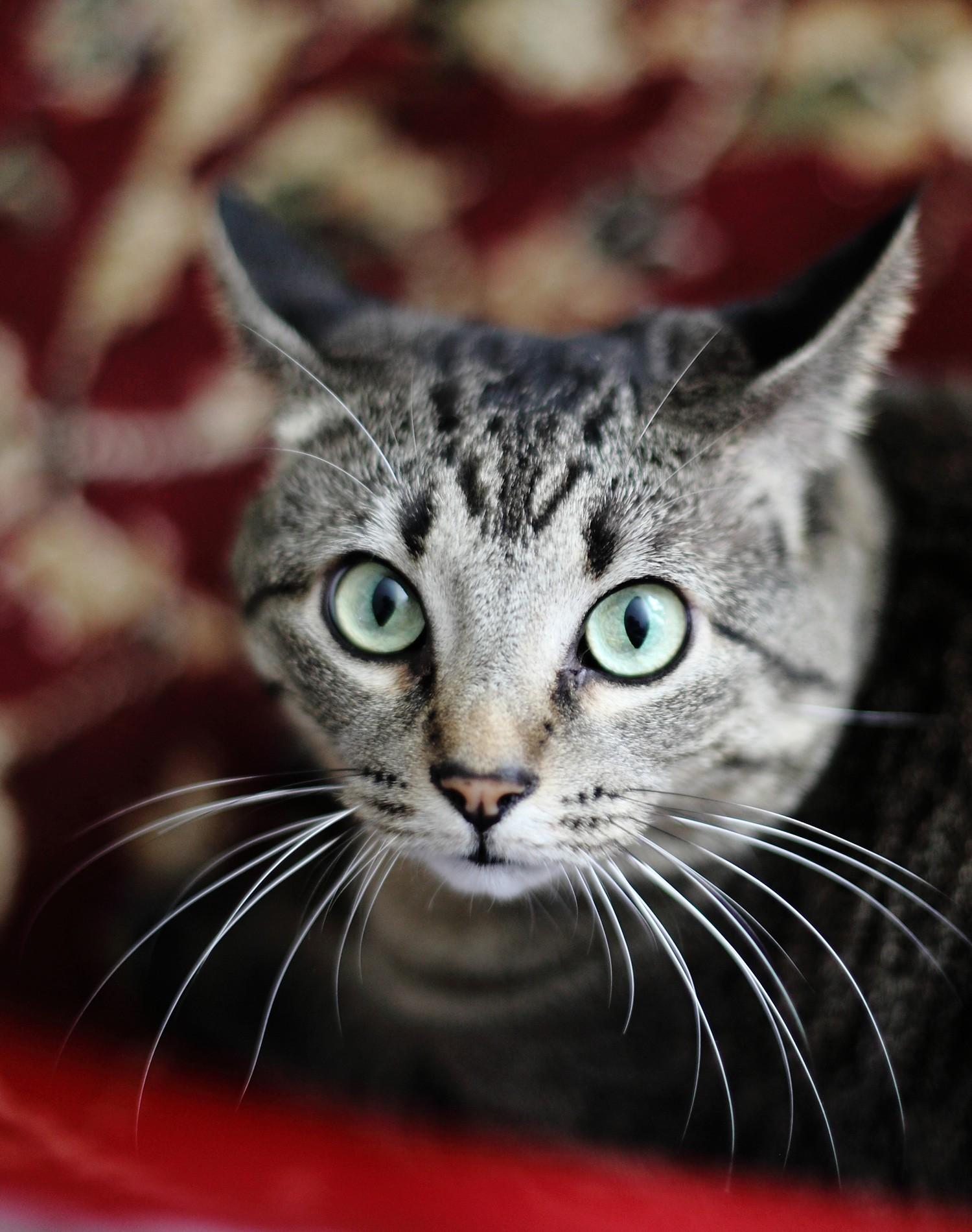 Pretty Gray Cat