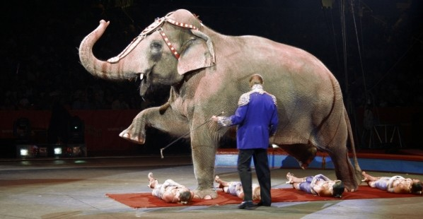 Ringling Elephant Forced to Perform