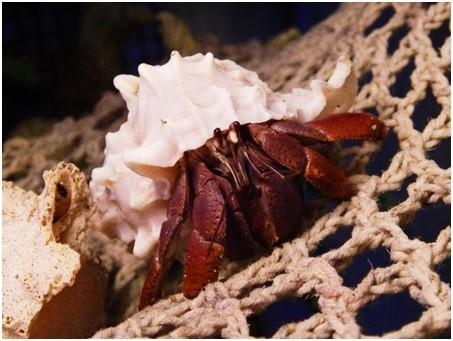 Hermit Crab on Net