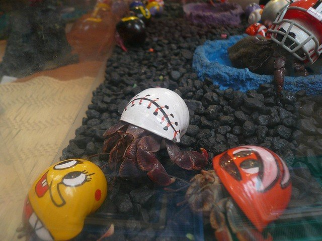 Hermit Crabs in Tank With Painted Shells