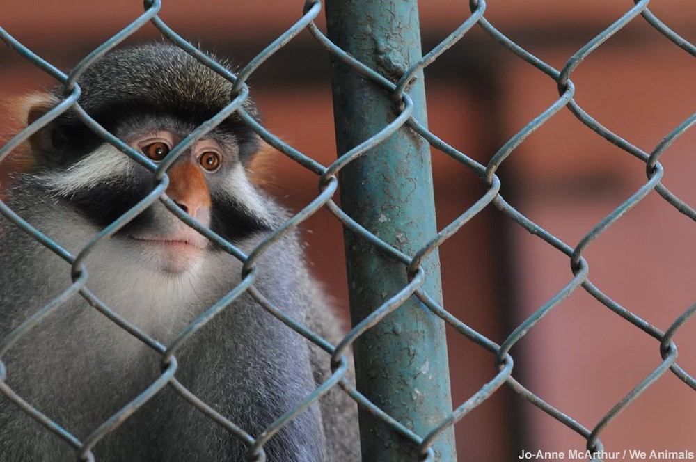 Sad Monkey Behind Zoo Bars