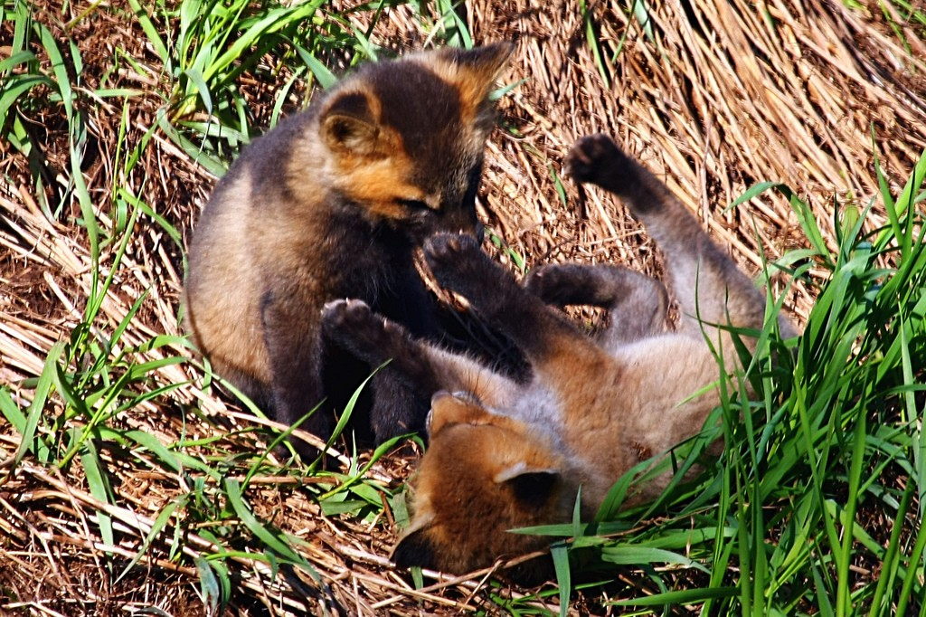 Two Baby Foxes Playing