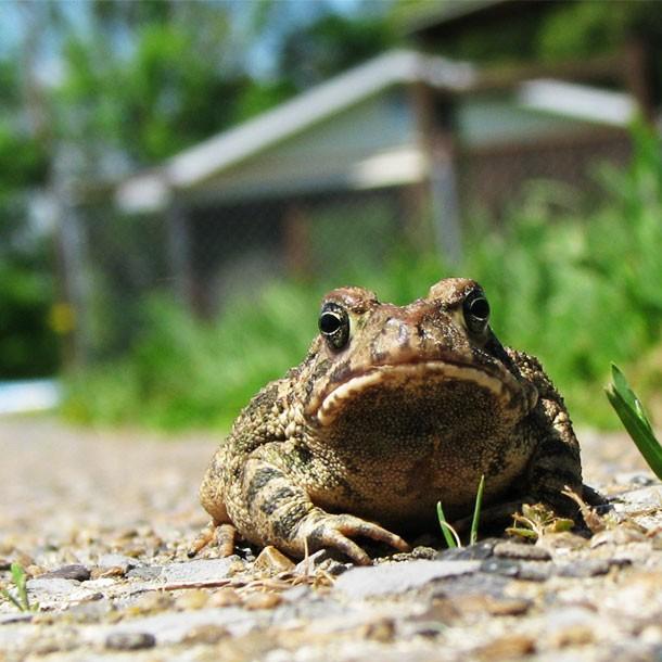 Frog on Path