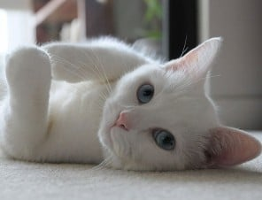 White Cat Laying on Back
