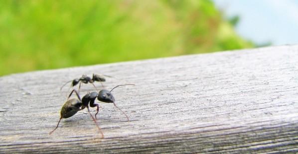 Two Ants Outside in a Field