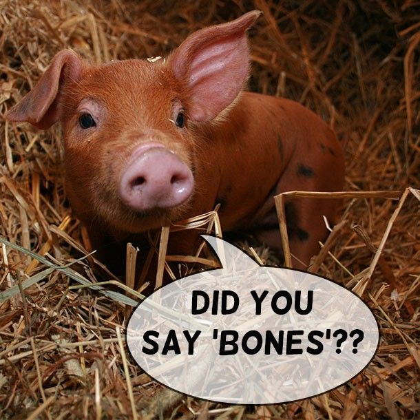 Baby Pig Piglet in Hay
