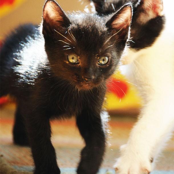 Black Cat Kitten