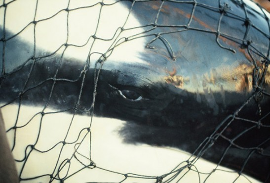Captured Orca