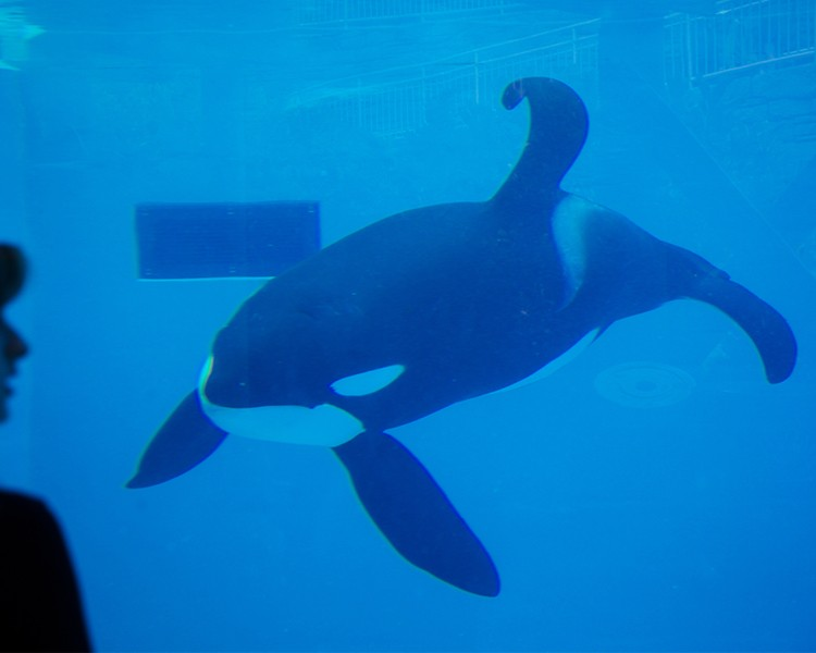 Orca-With-Bent-Dorsal-Fin