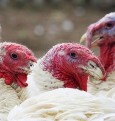 10 Photos That Prove Turkeys Are Awesome